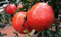 成熟的红石榴