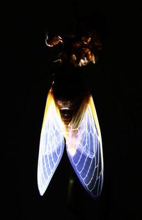 出壳的知了猴柔软的白翅子