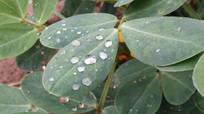 花生叶子上的水滴