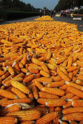 秋收脱粒玉米图