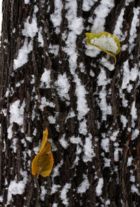 树皮上的残雪和叶子
