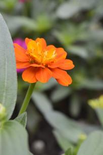 一朵橘红色百日菊