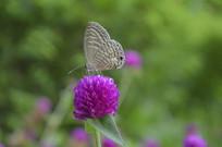 一朵圆仔花与蝴蝶