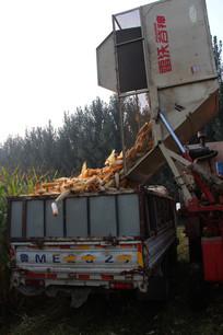 玉米收割后装车