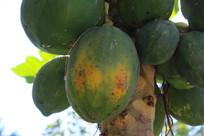 成熟的木瓜