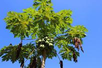 海南木瓜树