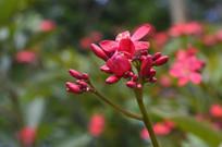 红色琴叶珊瑚
