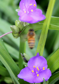 开花的紫叶草