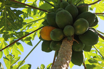 蓝天下的海南木瓜