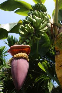 生长的小香蕉
