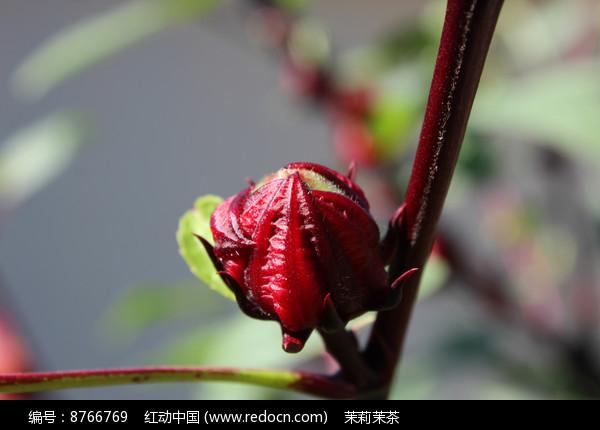 酸菜花的花骨朵图片