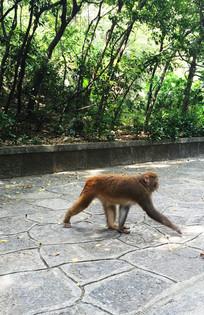 行走的山猴