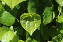 心形的绿色叶子