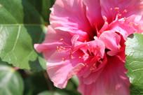 朱槿花的花蕊