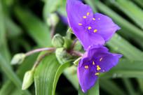 紫叶草和花蕾