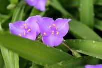 紫叶草特写