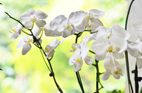 白色蝴蝶兰兰花花卉