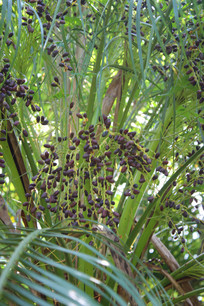 成熟的热带水果