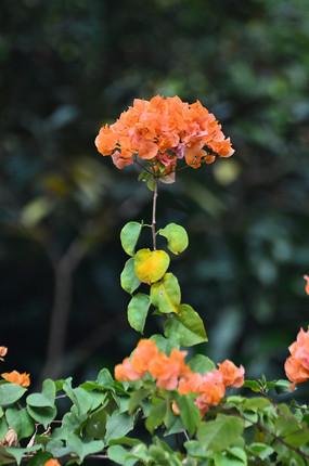 橘红色的花卉