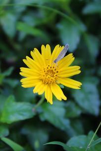 黄色的菊花与蝴蝶