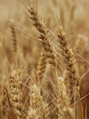 麦地里成熟的麦穗