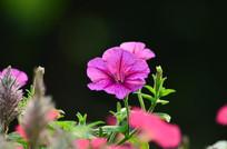 美丽的粉色小花