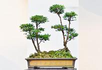 树木艺术盆栽