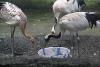 丹顶鹤正在进食