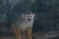蹲着的长尾猴特写