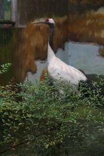 湖边站立昂头的丹顶鹤