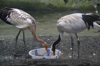 两只丹顶鹤正在进食