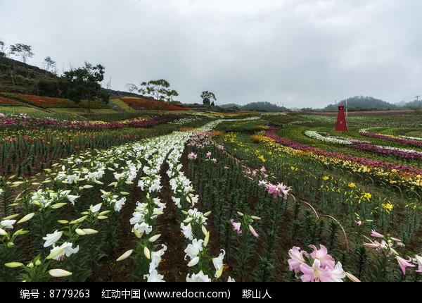 黟县叶村香水百合种植园图片