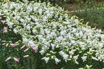 白色的香水百合花
