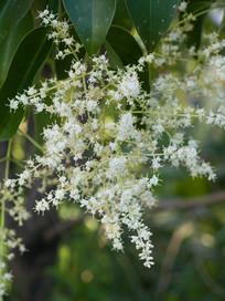 长叶女贞白色花朵