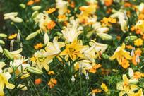 黄色香水百合花