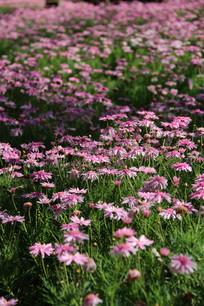 虚光粉色漂亮的格桑花海