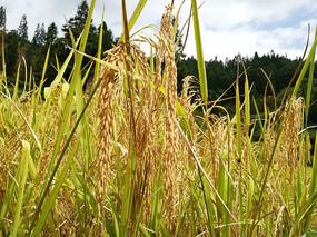 丰收的水稻