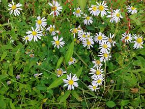 俯拍盛开的野菊花