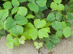 绿色的葛麻藤枝叶