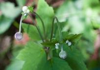 野棉花花蕾