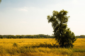 稻田中的一棵大树