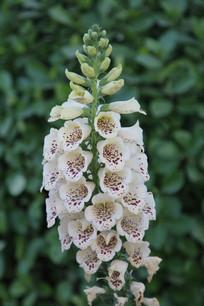 白色福禄考花朵
