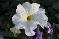 白色喇叭花