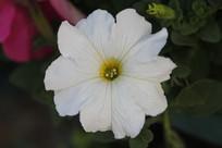 白色喇叭形花朵