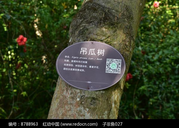 吊瓜树百科图片