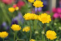 黄色小菊花花丛