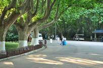 南京法国梧桐树