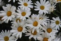 盛开的小白菊花