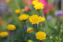 小黄花花朵