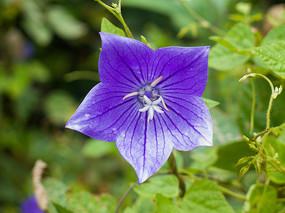 一朵紫色的桔梗花